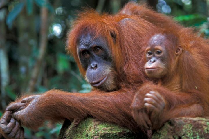 Orangutan sumatera dan kalimantan