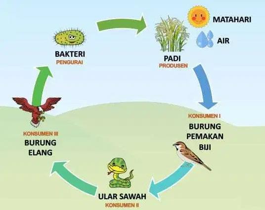 Rantai Makanan Ekosistem Sawah
