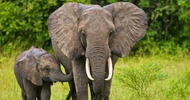 hewan langka Gajah sumatera