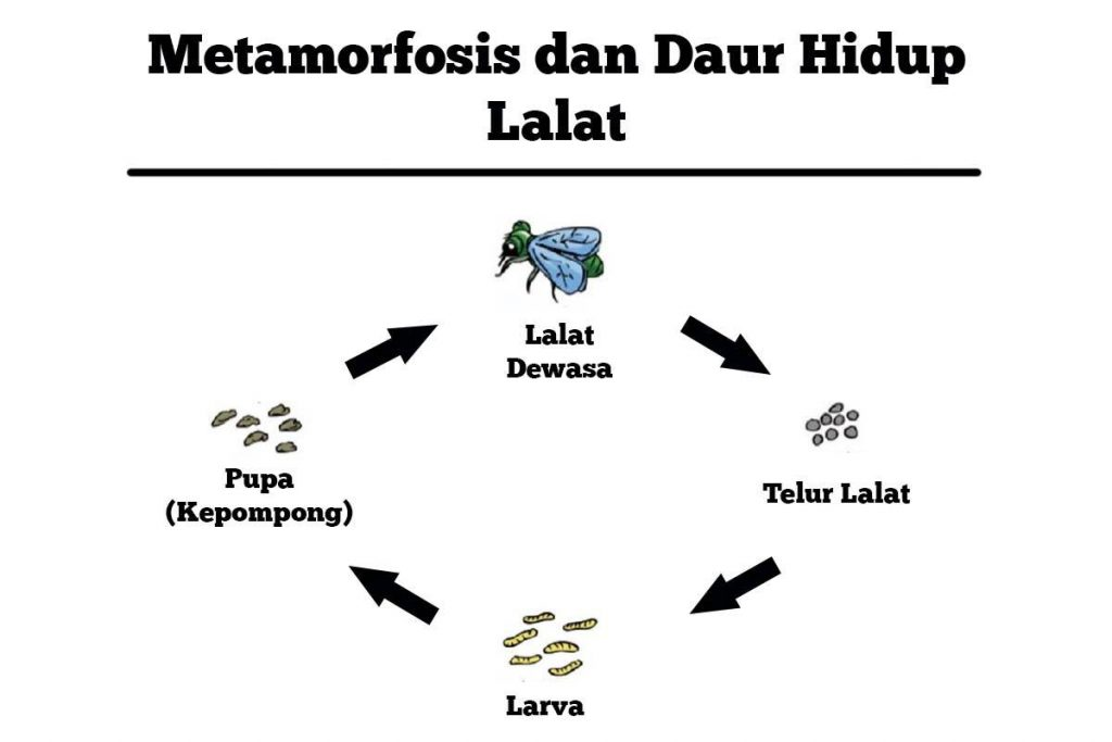Metamorfosis Sempurna