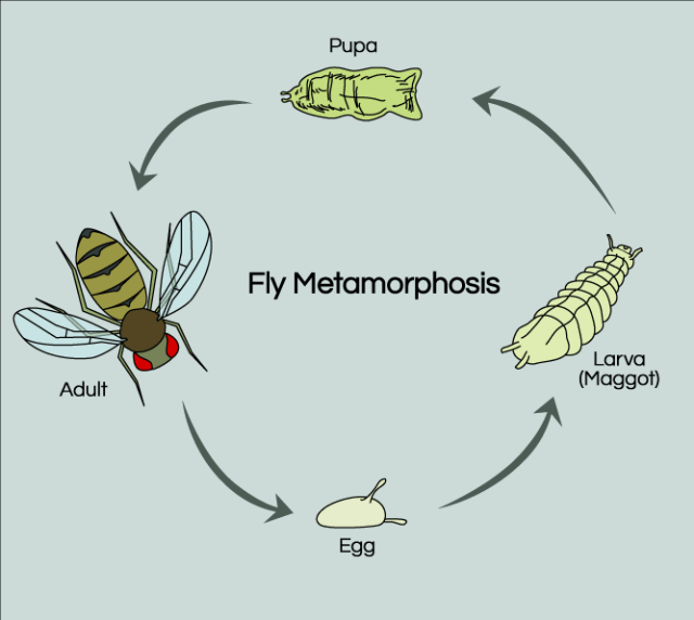 Pengertian Daur Hidup Lalat